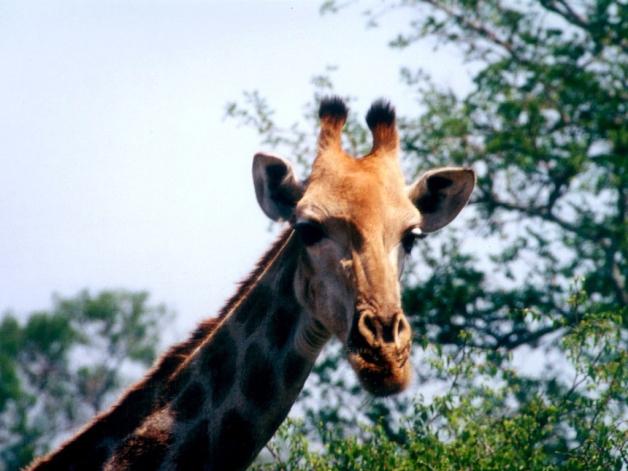 girafa031