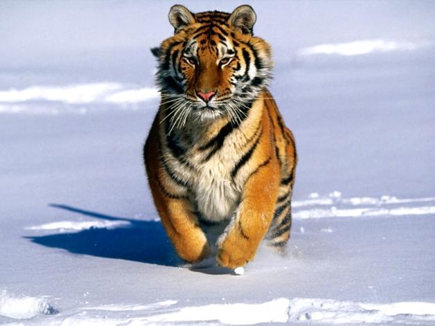 tigre021